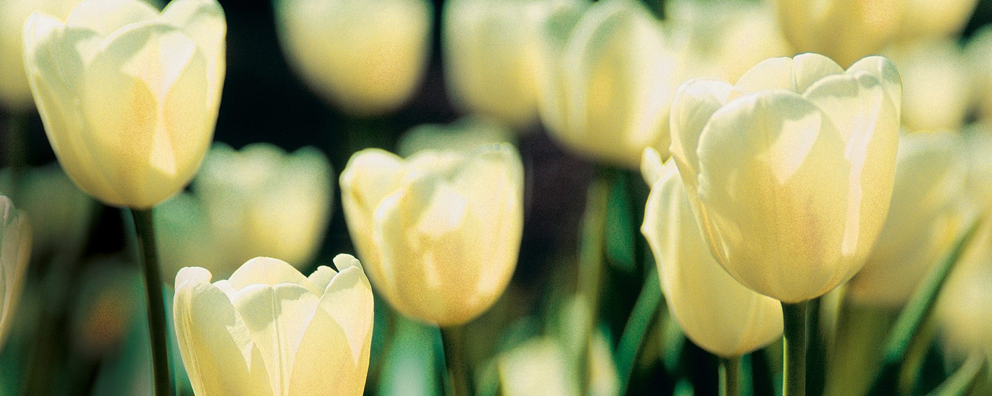 Tulpenfeld, nah, weisse Blueten
